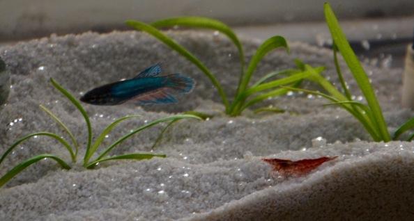 Aug 27 2015 shrimp and jade