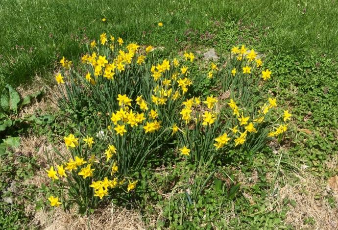 Apr 01 2016 daffodils