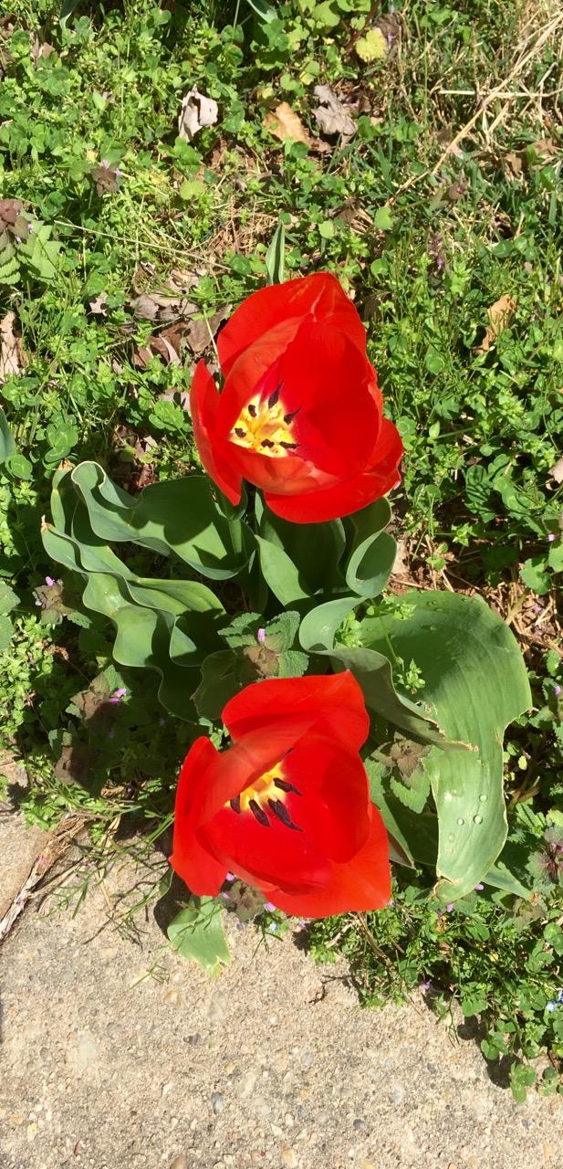 Apr 01 2016 tulips