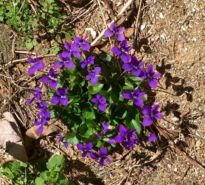 Apr 01 2016 violets